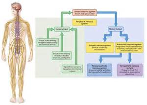 Central Peripheral Nervous System