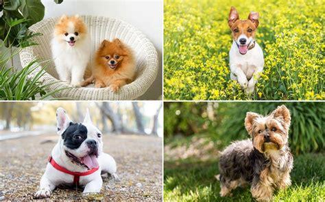สุนัขพันธุ์เล็ก 10 สุนัขพันธุ์เล็ก น่ารัก ที่คนนิยมเลี้ยง