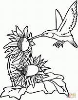 Printable Hummingbirds Coloring Pages Source sketch template