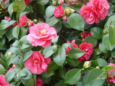 are camellias edible environmental horticulture 201 gt pollard gt flashcards gt weeks 1 and 2 studyblue