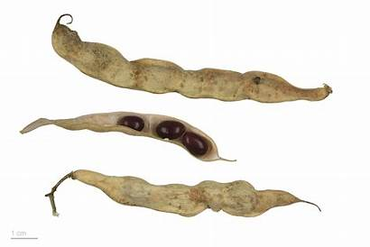 Phaseolus Vulgaris Wikimedia Commons Wikiwand Specimen Seeds