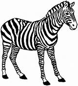 Zebra Coloring Pages Animals Clipartmag sketch template
