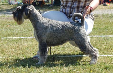 gry graskaegg chevrolets kennel uppfoedning av schnauzer ps