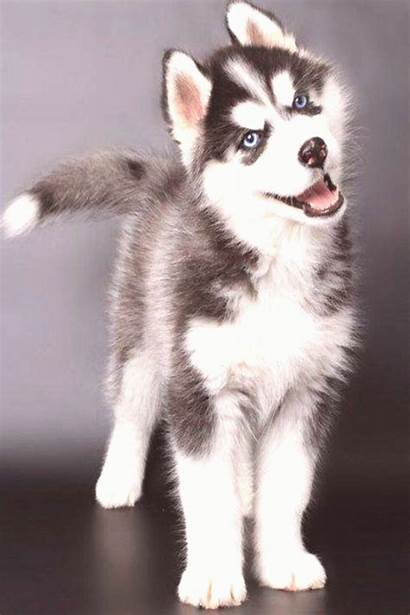 Husky Puppies Siberian Eyes Puppy Pomsky Lab