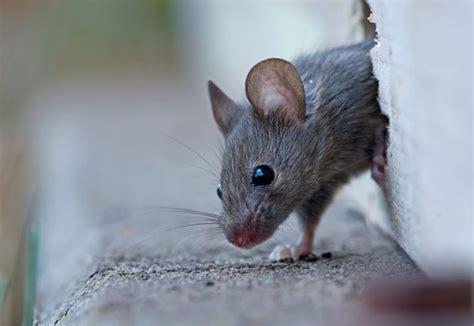 Fangen Im Haus by Maus Im Haus Fangen Maus Im Haus Fangen Ohne Falle Ohne