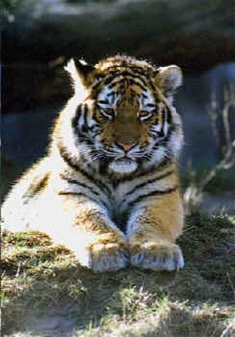 grosskatzen tiger primolode