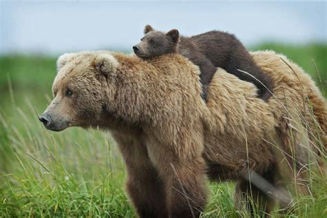 Бурый медведь . Животный и растительный мир . Яндекс Дзен . Яндекс Дзен . Платформа для авторов издателей и брендов