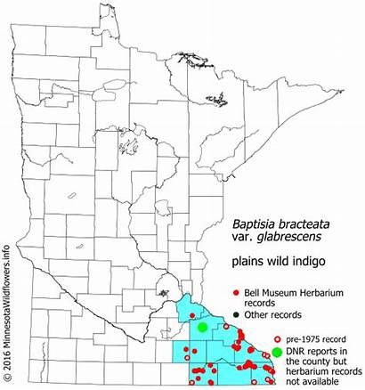 Plains Indigo Wild Minnesota Bracteata Baptisia Distribution