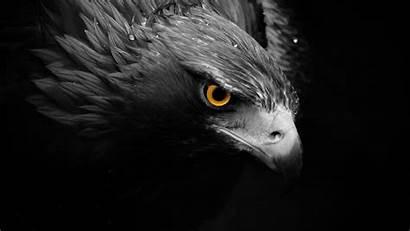 Eagle Birds Hawks Animals Coloring Bird Desktop