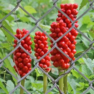 Beeren Pflanzen Bestimmen