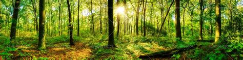 forest panorama  sun  customize wallpaper