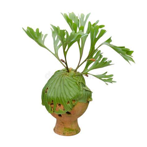 felce da vaso felce di staghorn sul vaso di argilla fotografia stock