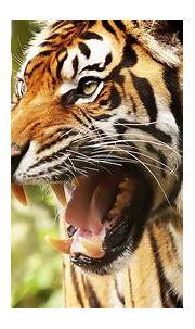 Animal Tiger HD Desktop Background Wallpapers   HD Wallpapers