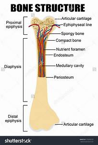 Labelled Diagram Of Parts Of Bone Skeletal System Stock Photos Images Amp Pictures Shutterstock