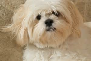 lhasa apso history and health temperament personality