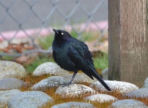 bird lore brewers blackbird  edmonds news