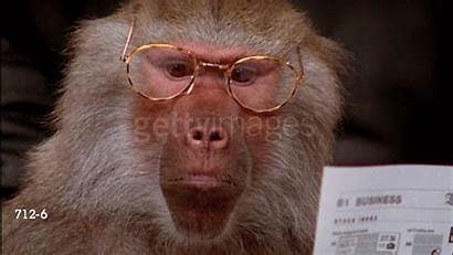 Baboon Baboons Giphy Gay Charge Boss Eccie