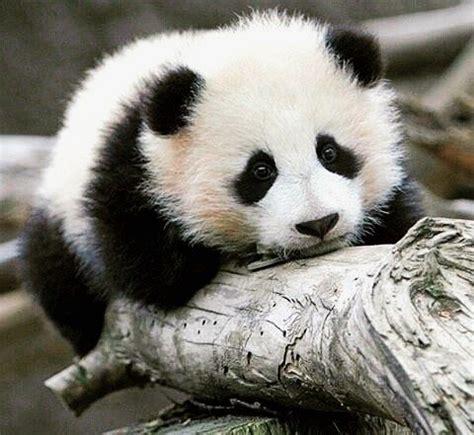mentions jaime  commentaires  panda bear