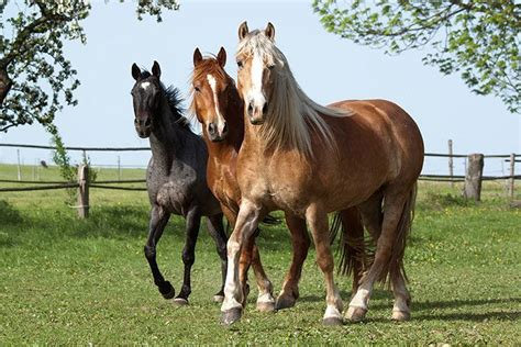 horses warmblood warm blooded zinkova vera shutterstock