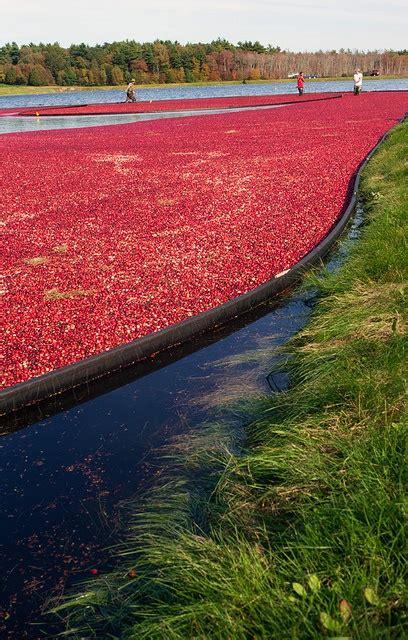 17 Best Images About Cranberry Bog On Pinterest Trees