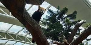 The red panda in Singapore Zoo : redpandas
