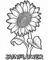 Sunflower Coloring Pages Flower Printable Flowers Summer Topcoloringpages Sheets Coloringfolder Fun Info Adult Spring Easy Butterfly Whitesbelfast Wild Plant Credit sketch template