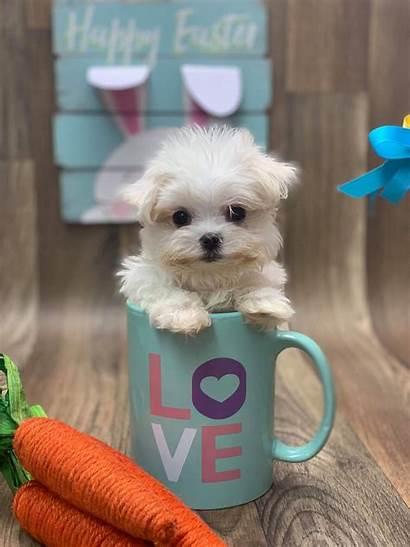 Maltese Teacup Dog Kong King Puppies Puppy