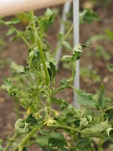 Tomatenblätter Rollen Sich Ein : tomaten vor krankheiten sch tzen plantura ~ Lizthompson.info Haus und Dekorationen