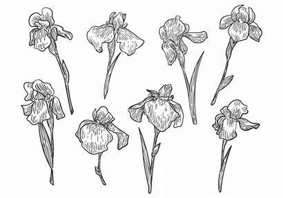 Drawn Hand Iris Flower Vectors Vector Pattern