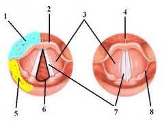 Anatomy & Physiology of the Larynx Flashcards - Cram.com