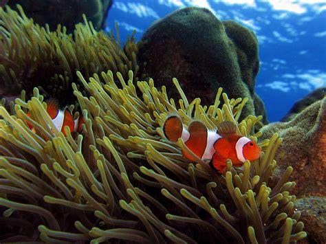 ikan giru wikipedia bahasa indonesia ensiklopedia bebas