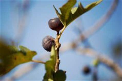 feige blätter braune flecken olivenbaum vertrocknet 187 so retten sie ihr b 228 umchen