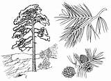 Pine Coloring Trees Nature sketch template