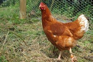 memelihara ayam petelur  rumah arenahewancom