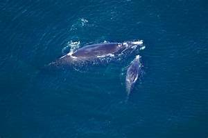 Grandmother And Grandfather Among 4 Endangered Whales That
