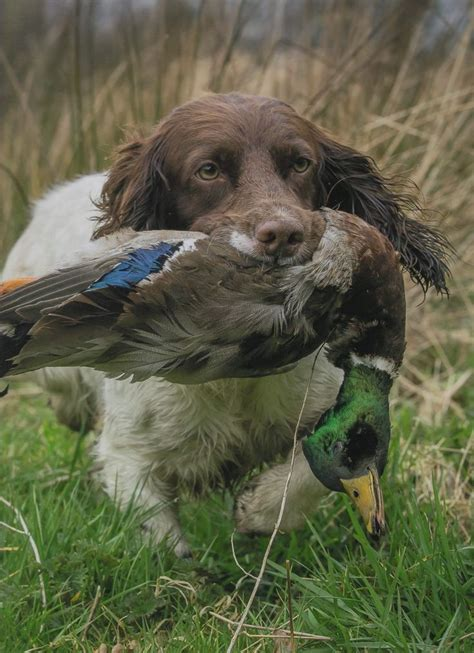 17 best images about gundogs on pinterest pheasant