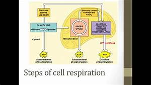 Stages Of Cellular Respiration