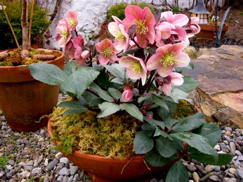 growing hellebores in containers hellebores in containers carolyn s shade gardens