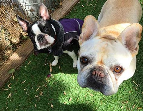 boston terrier  french bulldog uncovering