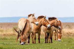 Przewalski's horse: 10 things you didn't know about the ...
