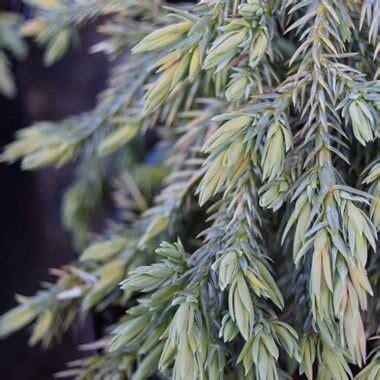 Juniperus squamata 'Blue Carpet' Zvīņainais kadiķis ...