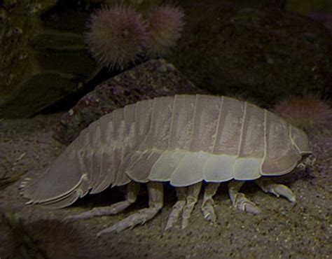 aquarium of the pacific learning center isopod
