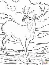 Coloring Mule Deer Popular sketch template
