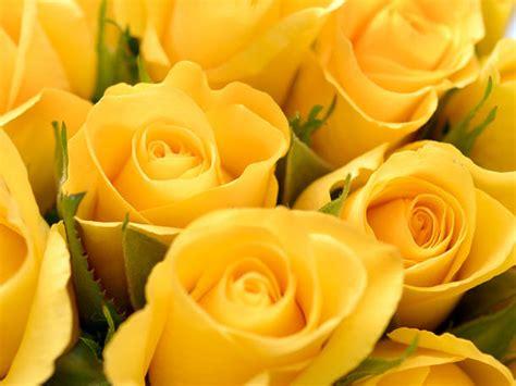 gelbe blumen bedeutung das bedeuten gelbe welche rosenfarbe hat welche bedeutung