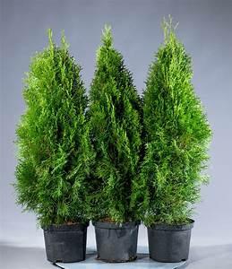 Thuja Smaragd Düngen : lebensbaum smaragd thuja occidentalis smaragd g nstig ~ Michelbontemps.com Haus und Dekorationen