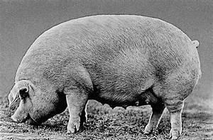 Pig  Chester White