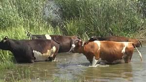 Лечение папиллом у коров ветеринарии