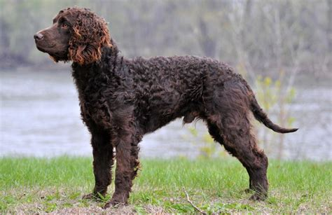 american water spaniel information temperament training