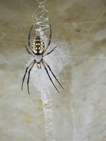 Non Yellow Garden Spiders Poisonous