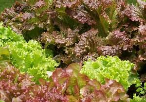 Salat Pflanzen Abstand : salate anbauen aussaat pflege im garten majas pflanzenwelt ~ Markanthonyermac.com Haus und Dekorationen